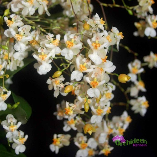Oncidium Tiny Twinkle - weiss - Duftorchidee