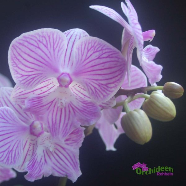 Phalaenopsis Little Big Lip