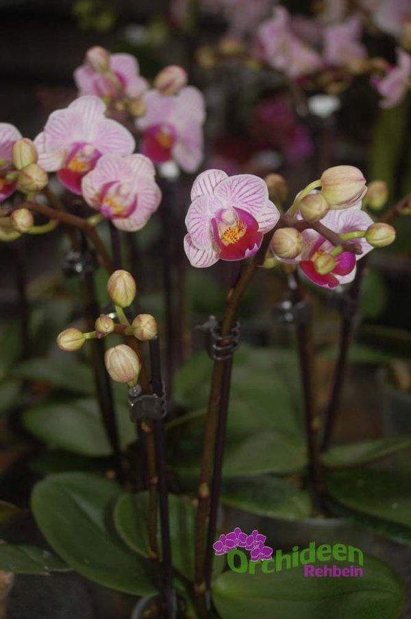 Orchideen Rehbein Online Shop Und Wissenswertes Zu Orchideen